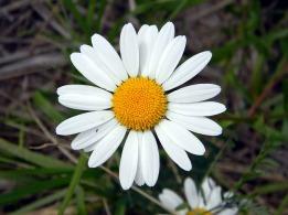 daisy-831454_640