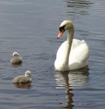 swan-family-51491_640