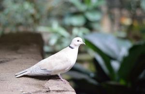white-pigeon-274002_640