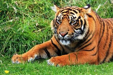 tiger-164905_960_720